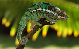 chameleon wallpapers full hd wallpaper animal images chameleon hd 1112