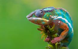 Colored Chameleon Wallpapers Pictures Photos Images 331