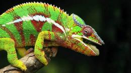 hdej desktop wallpapers chameleon animals wallpaper 1866