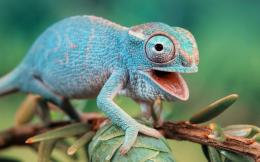 Chameleon HD Wallpaper 1965