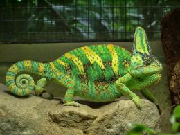 19 Colorful Chameleon Wallpapers HD 1642