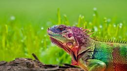 Chameleon HD Wallpaper 353