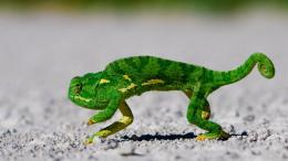 chameleons reptiles hd wallpaperscool desktop background images 1365