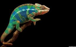 Chameleon Colored Black Background Wallpaper 540x337 Chameleon Colored 642