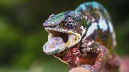 Colorful Chameleon HD Wallpaper 1486