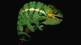 Beautiful Chameleon HD Wallpapers 511