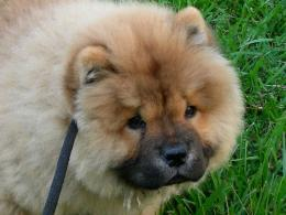 mystic chowder festivalSweet Chow Chow Dogs Wallpaper 1528