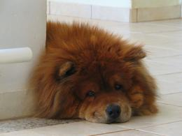 Dogs Wallpapers » Blog Archive » Big Chow Chow Lying Down Wallpaper 528