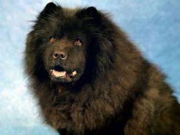 fields chow chow puppy dog tongue beautiful chow chow puppy 928