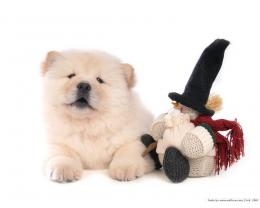 Puppies Chow Chow Puppy Wallpaper 1916