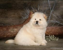 Puppies Chow Chow Puppy Wallpaper 626