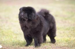chow chow black dog newfoundland black dog schipperke black dog 1161