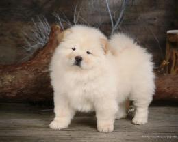 Chow Chow Puppy Wallpaper puppies 13936840 1280 1024 1781
