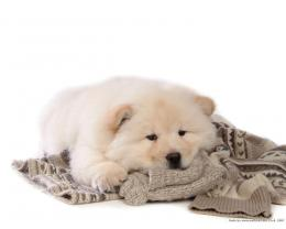 Puppies Chow Chow Puppy Wallpaper 765