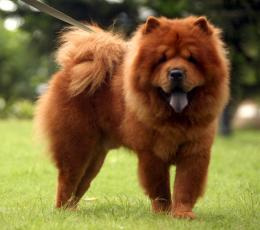 chow chow dog hd wallpapers cool desktop widescreen pictures 1595