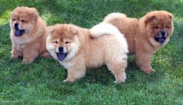 THE EXTRAORDINARY MOMENTS: PHOTO OF THE WEEK | CHOW CHOW PUPPIES!!! 1414