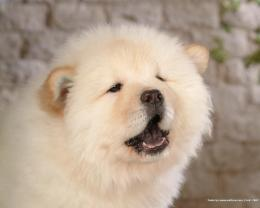 Puppies Chow Chow Puppy Wallpaper 1445