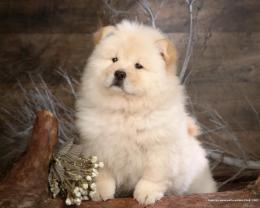 Dogs Chow Chow Wallpaper 394