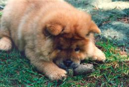 chow chow chow chow cute dog chow chow dog bread cute dogs dogs 2013 1307