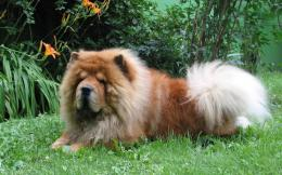 Chow Chow Dogs Cute Wallpapers 1601
