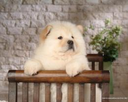 Puppies Chow Chow Puppy Wallpaper 1761