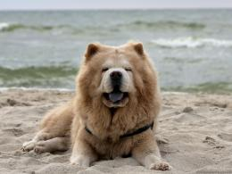 chow chow dog images chow chow dog top wide wallpapers chow 1555