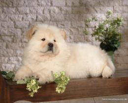 Puppies Chow Chow Puppy Wallpaper 567