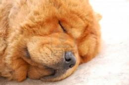 chow chow dog SLEEPINGSweet Chow Chow Dogs Wallpaper 1519