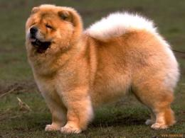 Add photos Cute Chow chow dog in your blog: 1739