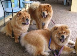sweet chows familySweet Chow Chow Dogs Wallpaper 1811