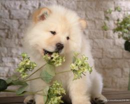 Puppies Chow Chow Puppy Wallpaper 494