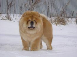 chow on the snowSweet Chow Chow Dogs Wallpaper 1018