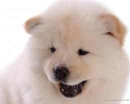 Puppies Chow Chow Puppy Wallpaper 1788