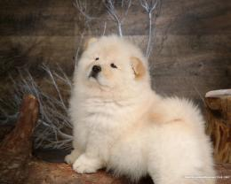 Fluffy Chow Chow Puppies wallpaperChow Chow puppy Pictures 1280 1325