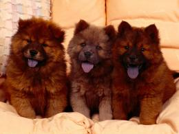 chow chow dog high definition wallpapers cool desktop images 798