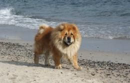 Chow Chow Dog Cute Wallpapers 1544