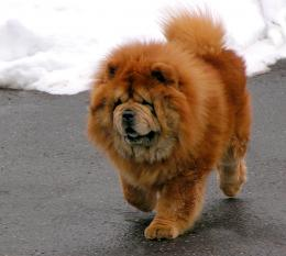 Chow Chow picture 1390