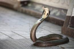 Snake Pictures King Cobra 20316 Hd Wallpapers 1048