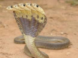 Cobra Snake Wallpaper 14333 Hd Wallpapers 786