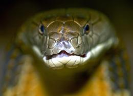 Cobra Snake Wallpaper 18829 Hd Wallpapers 1407