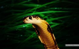 King Cobra Snake Wallpaper 294