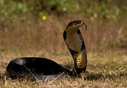King Cobra SnakeHD Wallpapers 138