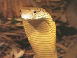Snake Pictures King Cobra 27200 Hd Wallpapers 1921