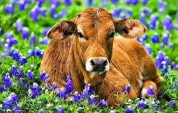 Beautiful Cow HD Photo 3 1756