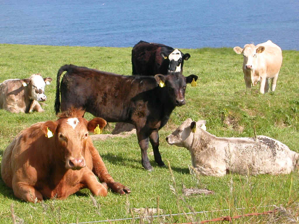 31 Cows 995 Cows Animals Wallpapers Hd 1039 Cow Animal Hd Wallpapers