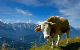 HD animal wallpaper with a cow in the mountains | HD cows wallpapers 1040