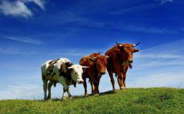 Cow Animal HD Wallpapers 1100