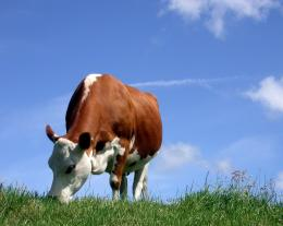 hd wallpapers cow animal beautiful desktop pictures widescreen hd 434