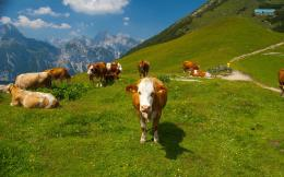 animal desktop wallpaper download cows the alps animal wallpaper in hd 860