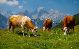 Hd Cows In The Alps Computer Background 169